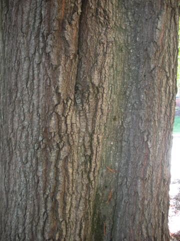 Image http://bioimages.vanderbilt.edu/lq/kirchoff/wem2627.jpg