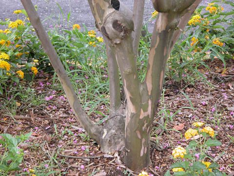 Image http://bioimages.vanderbilt.edu/lq/kirchoff/wlain--brb5171.jpg