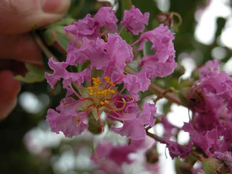 Image http://bioimages.vanderbilt.edu/lq/kirchoff/wlain--flpinkb5169.jpg