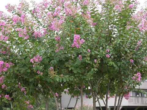 Image http://bioimages.vanderbilt.edu/lq/kirchoff/wlain--wppink-flowerb5165.jpg