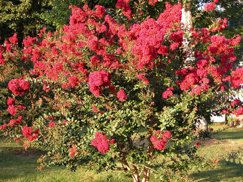 Image http://bioimages.vanderbilt.edu/lq/kirchoff/wlain--wpred-flowersb5163.jpg