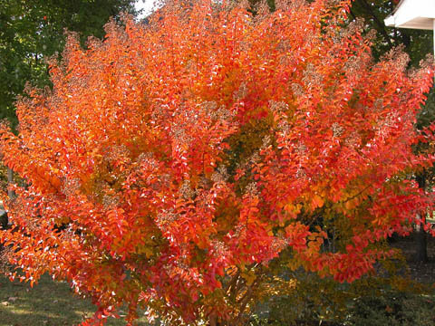 Image http://bioimages.vanderbilt.edu/lq/kirchoff/wlain--wpred-leavesb5150.jpg