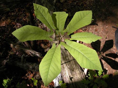 Image http://bioimages.vanderbilt.edu/lq/kirchoff/wmafr--lfseveralb5176.jpg