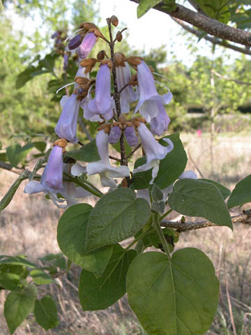 Image http://bioimages.vanderbilt.edu/lq/kirchoff/wpato2-flinflorb5204.jpg