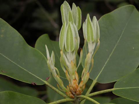 Image http://bioimages.vanderbilt.edu/lq/kirchoff/wrhca8-lfbuds-openingb5108.jpg