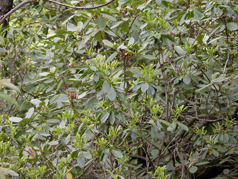 Image http://bioimages.vanderbilt.edu/lq/kirchoff/wrhca8-wpb5110.jpg