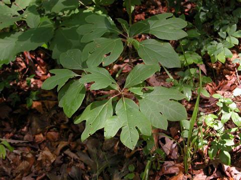Image http://bioimages.vanderbilt.edu/lq/kirchoff/wsaal5-lfseveralb5149.jpg