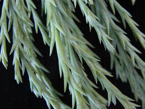 Image http://bioimages.vanderbilt.edu/lq/kirchoff/wsegi2-lfclose0227bk498.jpg