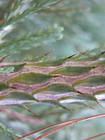 Image http://bioimages.vanderbilt.edu/lq/kirchoff/wsegi2-tw0220bk494.jpg