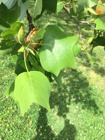 Image http://bioimages.vanderbilt.edu/lq/phoebusp/wlitu04.JPG