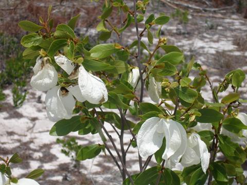Image http://bioimages.vanderbilt.edu/gq/segraveska/gasob6-wpin-flowerks570.jpg