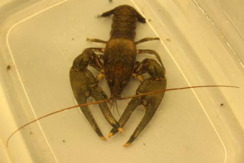 Image http://bioimages.vanderbilt.edu/lq/streamteam/wcrawfish11005.jpg
