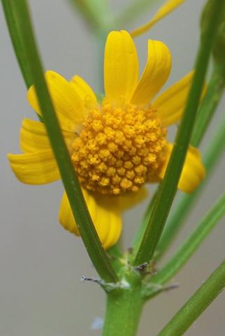 Image http://bioimages.vanderbilt.edu/lq/thomas/w0158-03-10.jpg