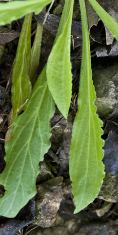 Image http://bioimages.vanderbilt.edu/lq/thomas/w0291-01-05.jpg