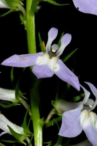Image http://bioimages.vanderbilt.edu/lq/thomas/w0337-01-03.jpg