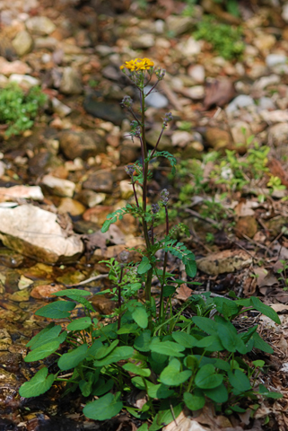 Image http://bioimages.vanderbilt.edu/lq/thomas/w0397-01-02.jpg