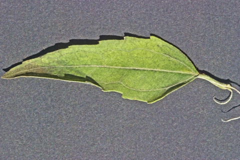 Image http://bioimages.vanderbilt.edu/lq/thomas/w0451-01-03.jpg