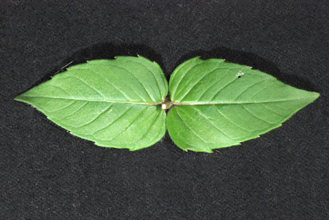 Image http://bioimages.vanderbilt.edu/lq/thomas/w0495-01-04.jpg
