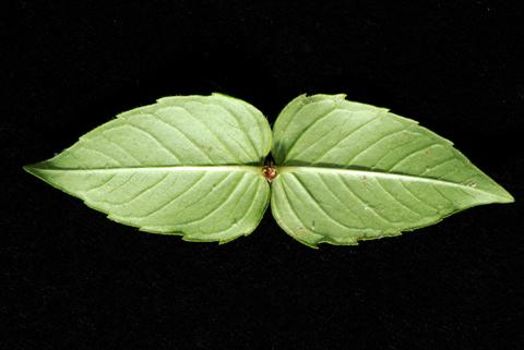 Image http://bioimages.vanderbilt.edu/lq/thomas/w0495-01-05.jpg