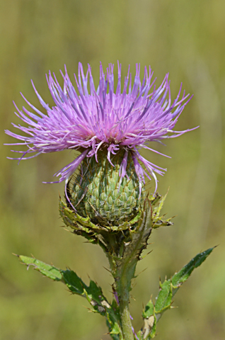 Image http://bioimages.vanderbilt.edu/lq/thomas/w0532-01-02.jpg