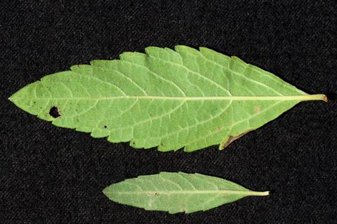 Image http://bioimages.vanderbilt.edu/lq/thomas/w0555-01-01.jpg