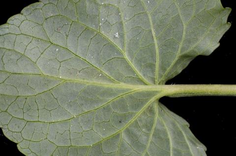 Image http://bioimages.vanderbilt.edu/lq/thomas/w0581-01-06.jpg
