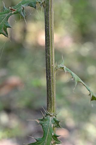 Image http://bioimages.vanderbilt.edu/lq/thomas/w0654-01-05.jpg