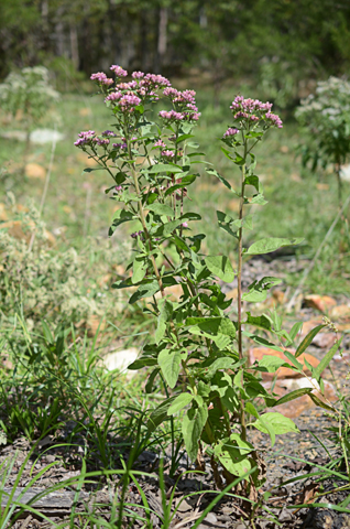 Image http://bioimages.vanderbilt.edu/lq/thomas/w0678-01-08.jpg