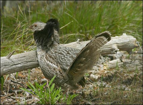 Image http://bioimages.vanderbilt.edu/lq/vannimwegenr/wbonumbgrouse1-webrv251.jpg