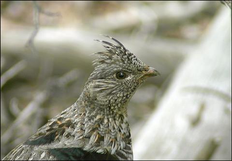Image http://bioimages.vanderbilt.edu/lq/vannimwegenr/wbonumbgrousehead-webrv252.jpg