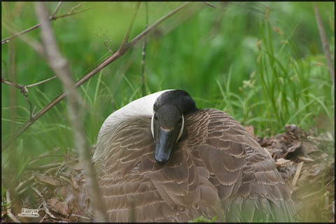 Image http://bioimages.vanderbilt.edu/lq/vannimwegenr/wbracanago-nestrv241.jpg