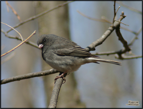 Image http://bioimages.vanderbilt.edu/lq/vannimwegenr/wjunhyedejurv237.jpg