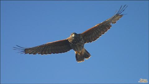 Image http://bioimages.vanderbilt.edu/lq/vannimwegenr/wpa1uniharrishawk-flightrv238.jpg