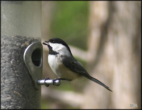 Image http://bioimages.vanderbilt.edu/lq/vannimwegenr/wparatrbcch-copyrv236.jpg