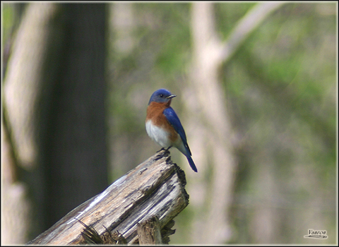 Image http://bioimages.vanderbilt.edu/lq/vannimwegenr/wsiasiaeabl-poserv248.jpg