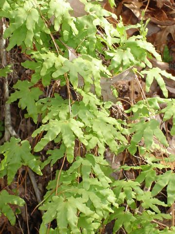 Image http://bioimages.vanderbilt.edu/lq/wilburb/wlypa3-lfseveral-506bw618.jpg