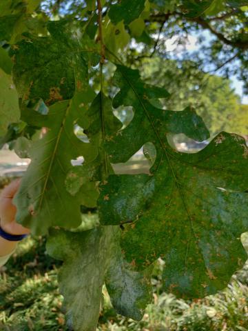 Image http://bioimages.vanderbilt.edu/lq/youngr/w20190918_151827.jpg